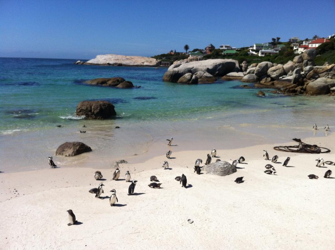 Die Pinguine am Bouldersbeach