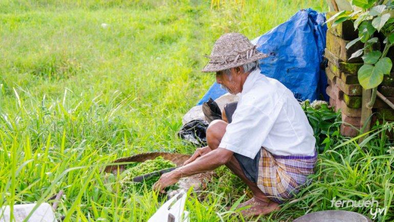Bei der Reisernte helfen Jung und Alt